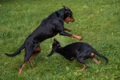 Lithuanian Hound Dogs Playing on the grass. Lithuanian Hound Dogs Playing on the grass Royalty Free Stock Image