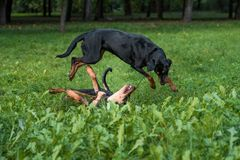 Lithuanian Hound Dogs Playing on the grass. Lithuanian Hound Dogs Playing on the grass Royalty Free Stock Photo