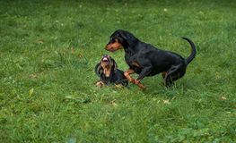 Lithuanian Hound Dogs Playing on the grass. Lithuanian Hound Dogs Playing on the grass Stock Photography