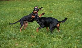 Lithuanian Hound Dogs Playing on the grass. Lithuanian Hound Dogs Playing on the grass Stock Photo