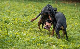 Lithuanian Hound Dogs Playing on the grass. Lithuanian Hound Dogs Playing on the grass Royalty Free Stock Photos