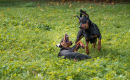 Lithuanian Hound Dogs Playing on the grass. Lithuanian Hound Dogs Playing on the grass Stock Image