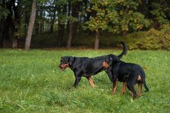 Lithuanian Hound Dogs Playing on the grass. Lithuanian Hound Dogs Playing on the grass Stock Images