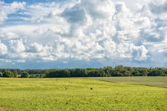 Lithuanian Nature and Landscape with Cloudy Blue Sky and Flying Stork in Background. Wheat Field. Royalty Free Stock Image