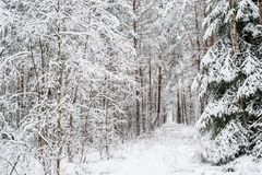 Lithuanian winter. Forest covered with snow Stock Photography
