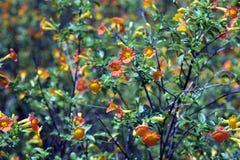 litle桔子fowers庭院  库存图片