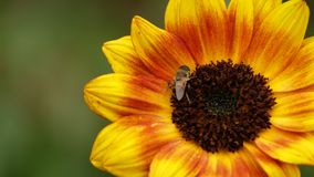 The bee on the sunflower. The litle bee on the sunflower Stock Photography