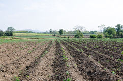 Litle cassava in the field Stock Image