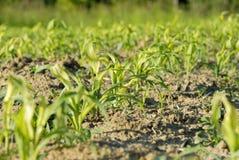 Litle corn in field. Little corn growing in the field Royalty Free Stock Image