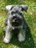 Litle dog Stock Image