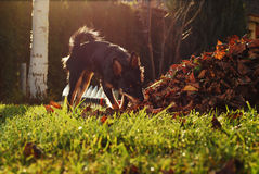 Litle dog sniffing at yard Stock Photo