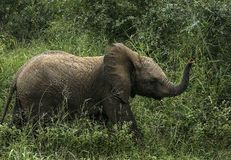Litle elephant walks in the grass royalty free stock photography