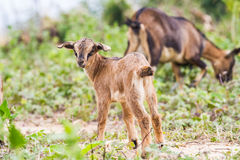 Litle goat Stock Photos