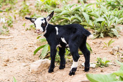 Litle goat Stock Images