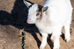 Litle goat on meadow with blurred green background Stock Image