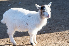 litle goat on a meadow with blurred green background Stock Photos