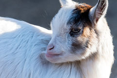 Litle goat on meadow with blurred green background Royalty Free Stock Photography