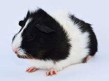 Litle guinea pig Royalty Free Stock Photo