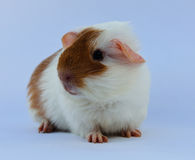 Litle guinea pig Royalty Free Stock Image