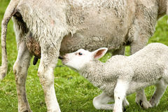Litle lamb feeding Royalty Free Stock Images