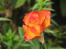 Little orange rose. Litle orange rose flower on the bush in the autumnal garden flowerbed stock photography