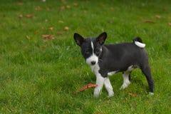 Litle puppy basenji Stock Images