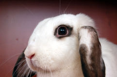 Litle rabbit. White rabbit royalty free stock image
