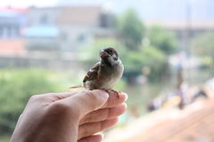 The litle sparrow Stock Image