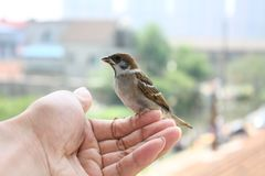 The litle sparrow Stock Photography