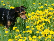 Litlle dog on glade in dandelions stock photos
