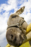 A litlle donkey. Stock Images