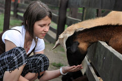 Litlle girl feeding goats royalty free stock photography
