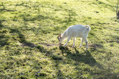 Litlle goat - kid on the pasture Stock Photography