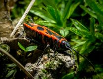 The firebug macro. Litlle red the firebug Pyrrhocoris apterus in grass macro Royalty Free Stock Photos