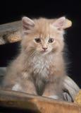 Inhemsk kattunge Arkivbilder