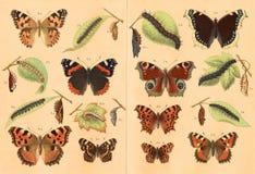 Litografía de mariposas Imágenes de archivo libres de regalías