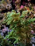 Litophyton arboreum Royalty Free Stock Photo