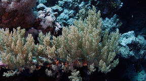 Litophyton arboreum Royalty Free Stock Image