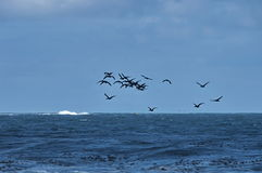 Litoral de Oceano Atlântico pelo cabo da boa esperança Voo de cormorantocks do cabo imagens de stock