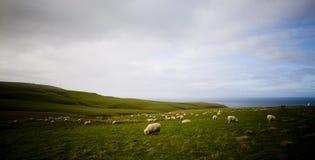 Litorale delle pecore fotografia stock libera da diritti