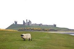 Litorale Regno Unito del Northumberland delle pecore del castello di Dunstanburgh Fotografie Stock