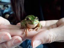 Litoria Aurea, la grenouille d'arbre moulue de logement photos stock