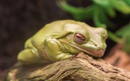 Litoria Caerulea, Australian green tree frog resting Stock Images