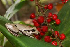 Litoria Wilcoxi frog. Stoney Creek frog litoria wilcoxi in native Australian cordyline  cordyline australis with red berries at Eungella national park Stock Photo