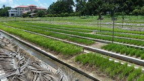 Lits de crèche dans la culture de riz dans l'agriculture image stock