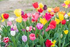 Lits de fleur avec les tulipes colorées en parc de New Jersey de festival de tulipe images stock