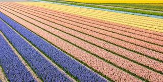 Lits de fleur colorés avec les jacinthes fleurissantes un ressort ensoleillé photo stock