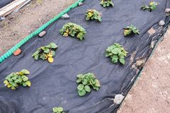 Lits de jardin avec des buissons de fraise préparés pour l'hiver dans le jardin images libres de droits