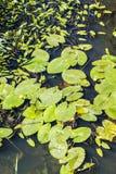 Lits et Lily Pads de roseau d'asile de Combe près de bexhill dans le Sussex est, Angleterre photographie stock libre de droits