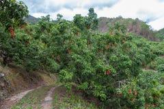 Litschibäume mit den reifen frischen Früchten, die unten von den Baumasten hängen Stockfotografie
